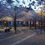 furutorpsparken - körsbärsträd blomning 1