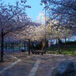 furutorpsparken - körsbärsträd blomning 2