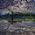 furutorpsparken - körsbärsträd blomning 4