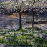 furutorpsparken - körsbärsträd blomning 5