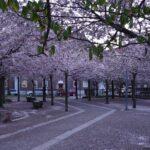 furutorpsparken - körsbärsträd blomning 0