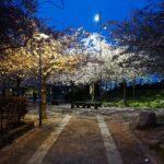 furutorpsparken - körsbärsträd blomning 3